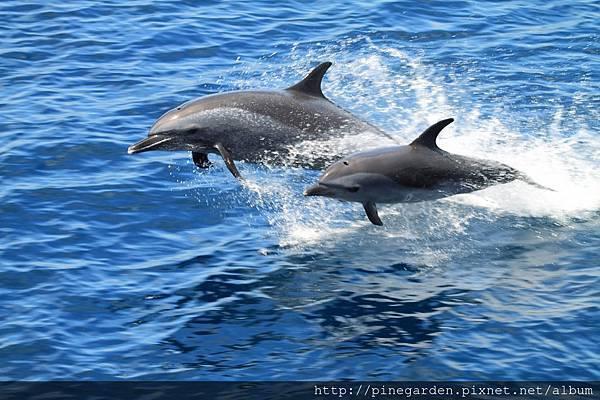 熱帶斑海豚(1)