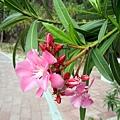 野狸島上的花