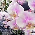 第二波 ─ 蘭花展