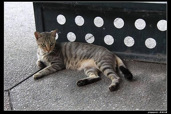 優雅黑條紋貓.JPG