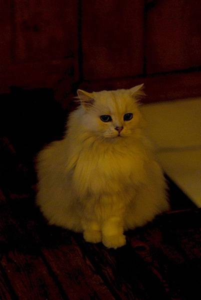 優雅的貓.JPG