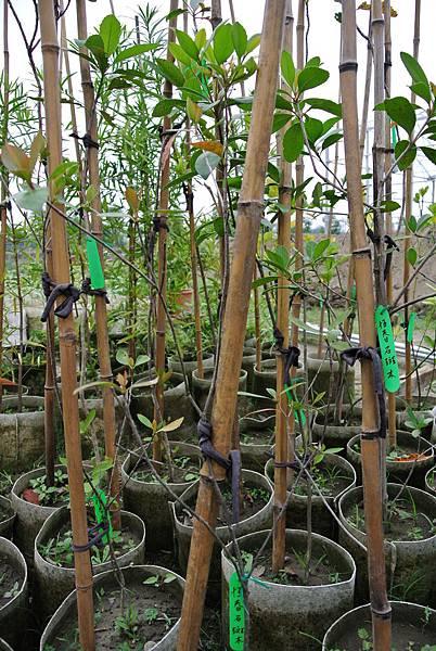 恆春石斑木