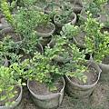 細葉蚊母樹
