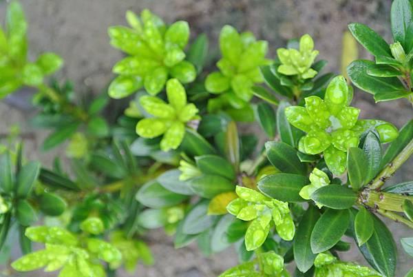 綠鑽羅漢松 (3)