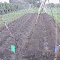橙蜜香番茄種植培養