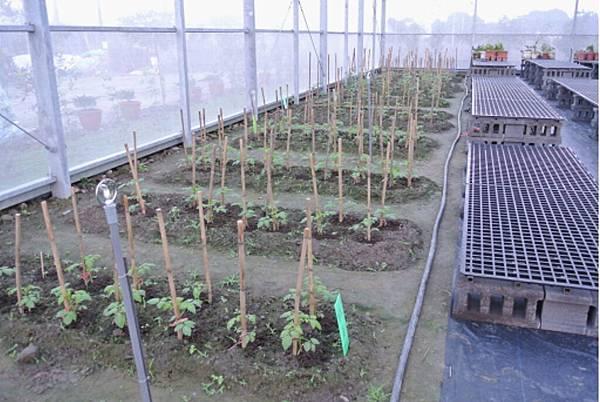 橙蜜香番茄種植培養3