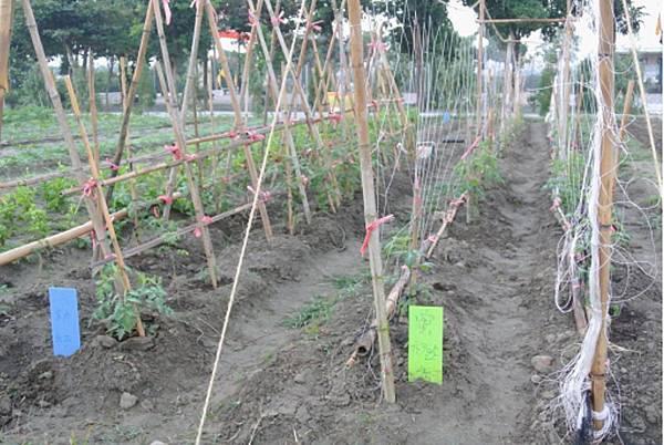 橙蜜香番茄種植培養4