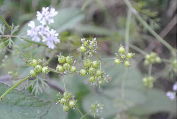 香菜青綠色的種子(未熟成)