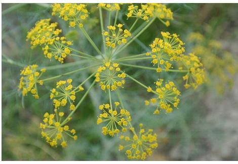 茴香散射狀黃束花