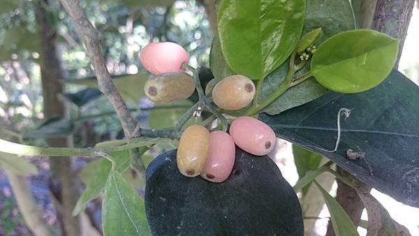 呂宋毛蕊木的粉橙果.JPG