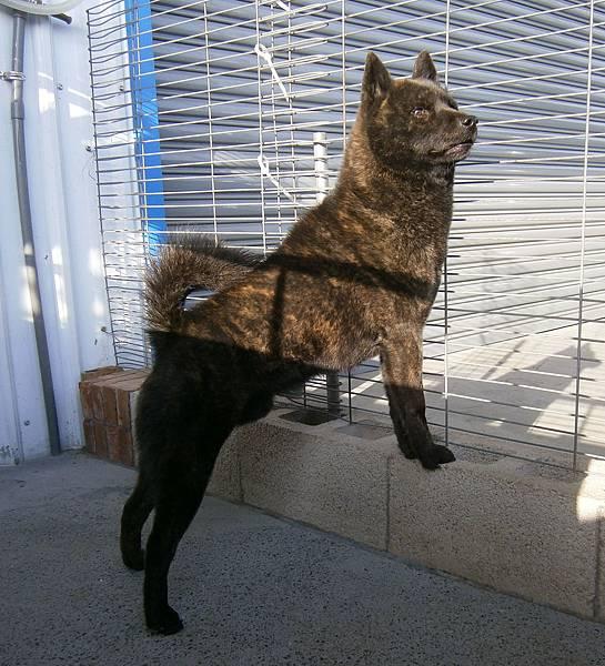 甲斐犬-大將2012.3.5