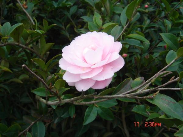 粉紅色又大朵