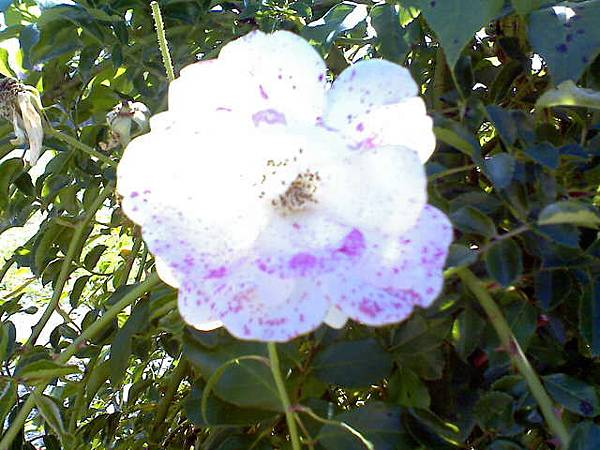 Blood-stained White Flower?!