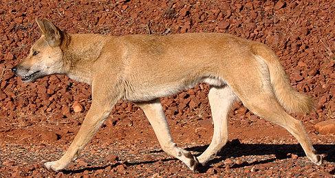 Dingo(澳洲野犬)