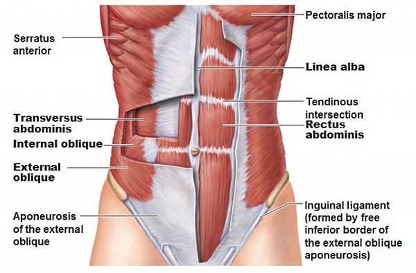 abdominal-wall-muscle-anatomy-photo-550f94a678188.jpg