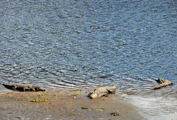 曬太陽的鱷魚