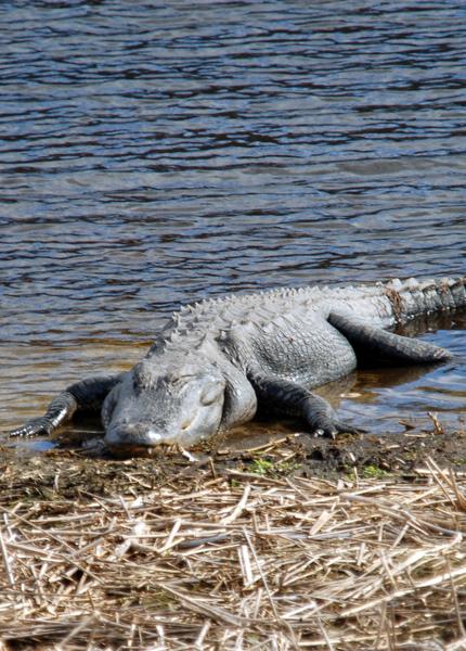 鱷魚睡大覺
