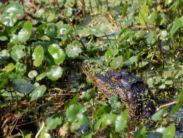 從水草中探頭的小鱷魚