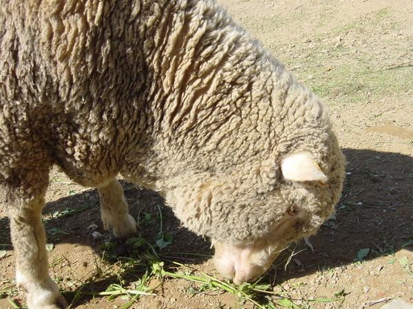 認真吃草的羊咩咩