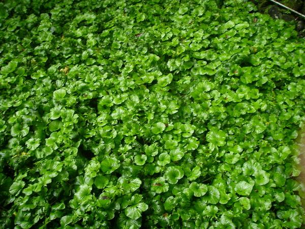 由天城山水系灌溉的wasabi田
