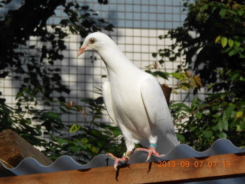小純白鴿 & 小火鳳凰