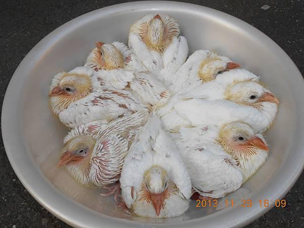 鴿子 021