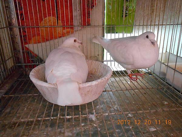 白鴿 004