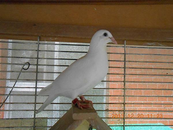 白鴿 015