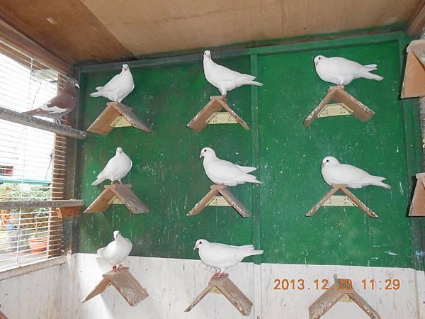 白鴿 037