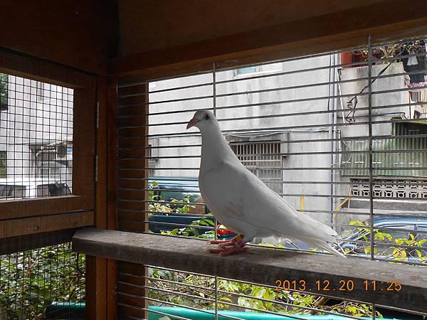 白鴿 026