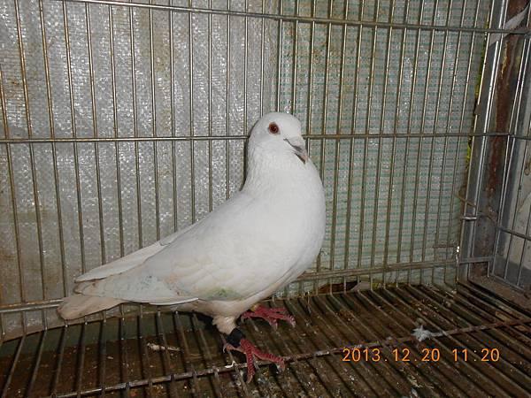 白鴿 009