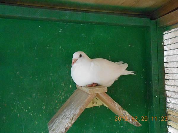 白鴿 017