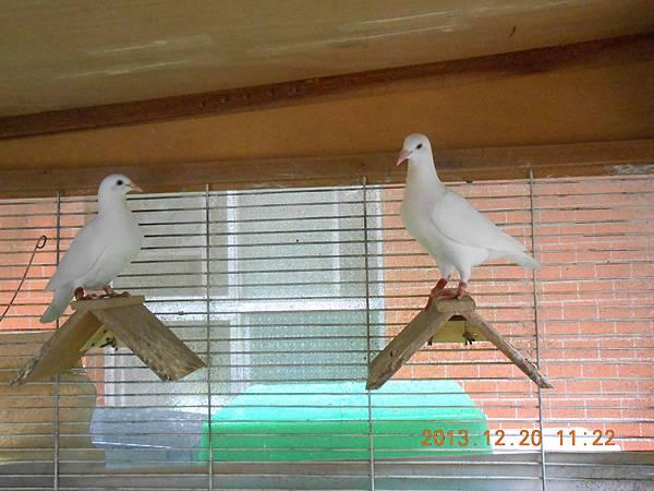 白鴿 012