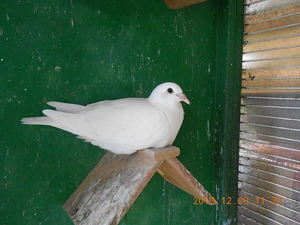 白鴿 018