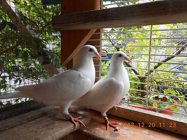 白鴿 019