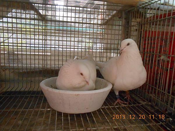 白鴿 001