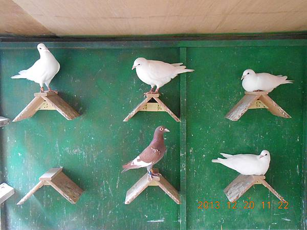 白鴿 011