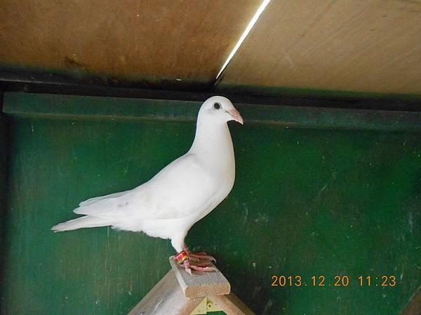 白鴿 014