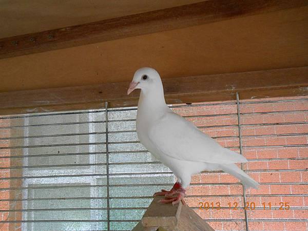 白鴿 028