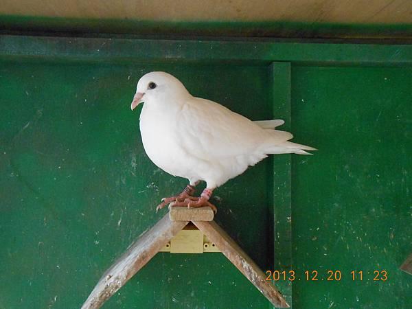 白鴿 016