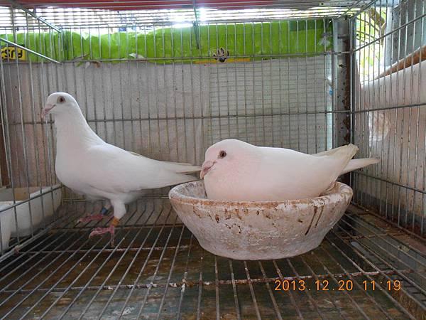 白鴿 005