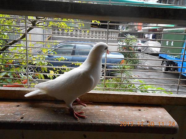 白鴿 022