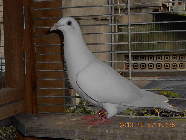 白鴿 054