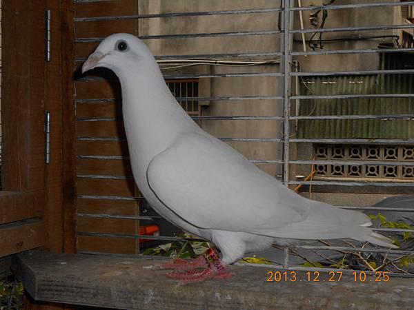 白鴿 051