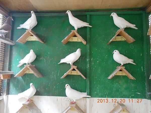 白鴿 030