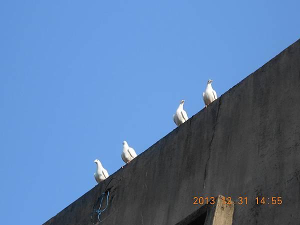 白鴿 152