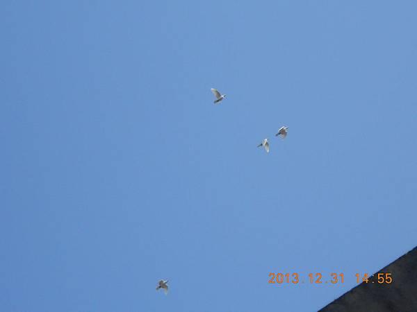 白鴿 153