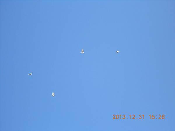 白鴿 163