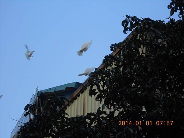 白鴿 201