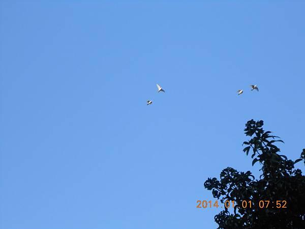 白鴿 191